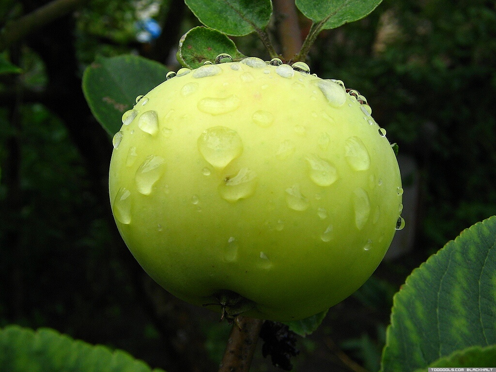 Green Apple, 2