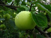 Green Apple, 3