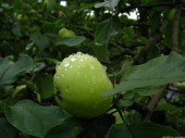 Green Apple, 5