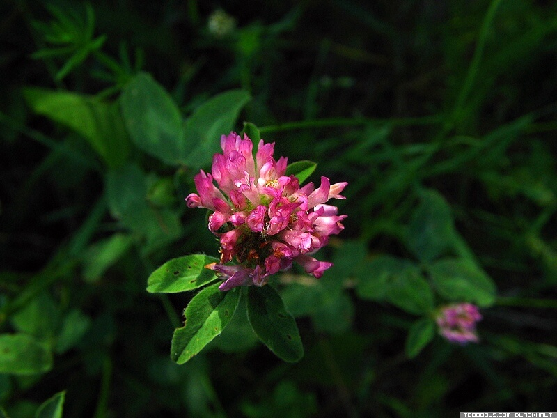 Meadow Flower, Clover