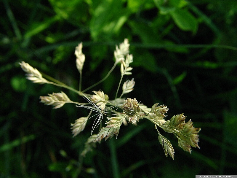 Meadow-grass, 6