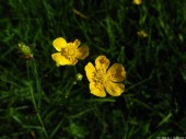 Meadow Flowers, 10, Buttercup