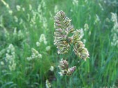 Meadow-grass, 3