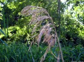 Meadow-grass, 9
