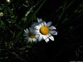 Daisy, 4