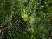 Green Pinecone, 2