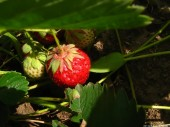 Strawberries, 5