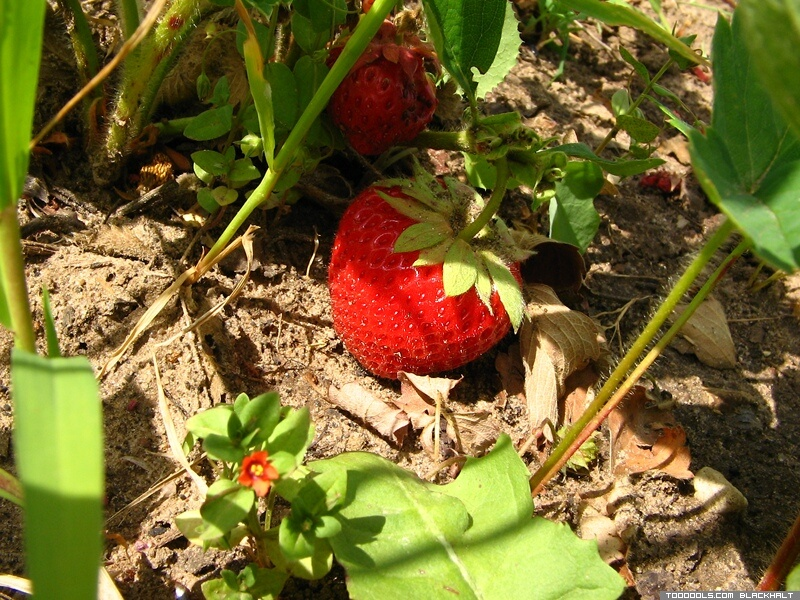 Strawberries, 6