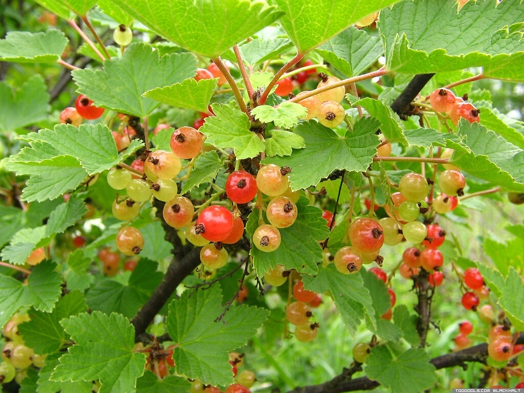 Red Currants, 2