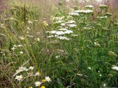 Meadow, Common Yarrow
