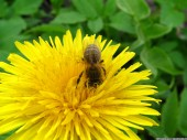 Bee and dandelion