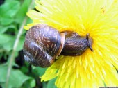 Snail and dandelion