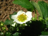Strawberry blossom 2