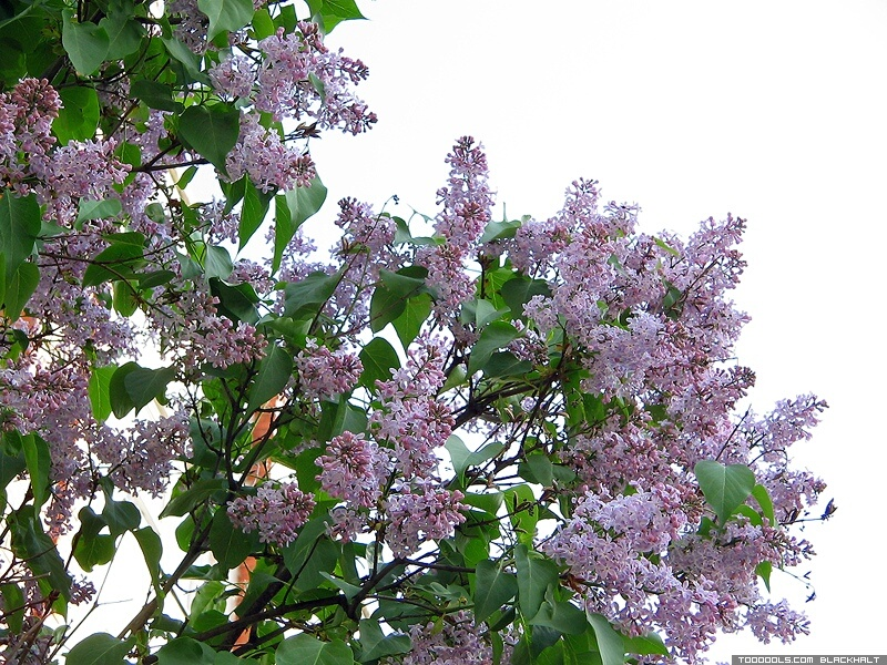 Lilac, pipe-tree