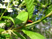 Bird-cherry and ladybird