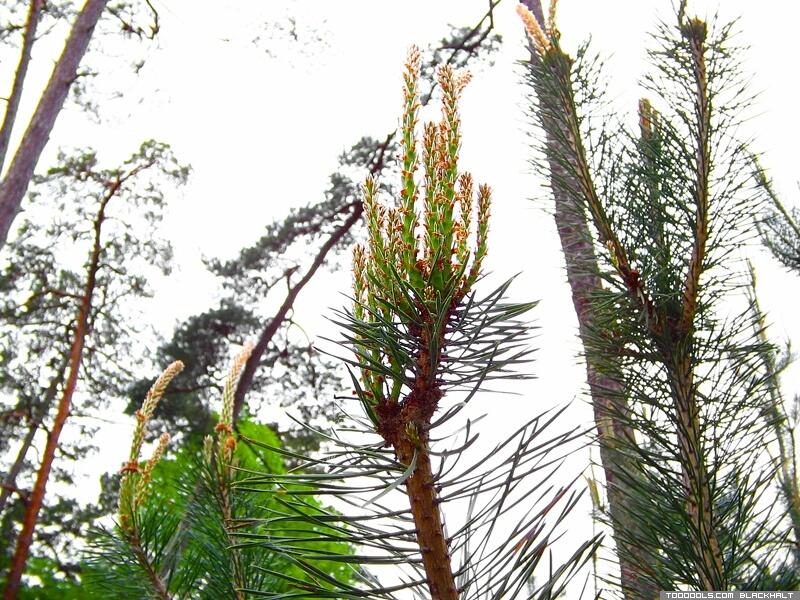 Pinecone bud, pine-tree